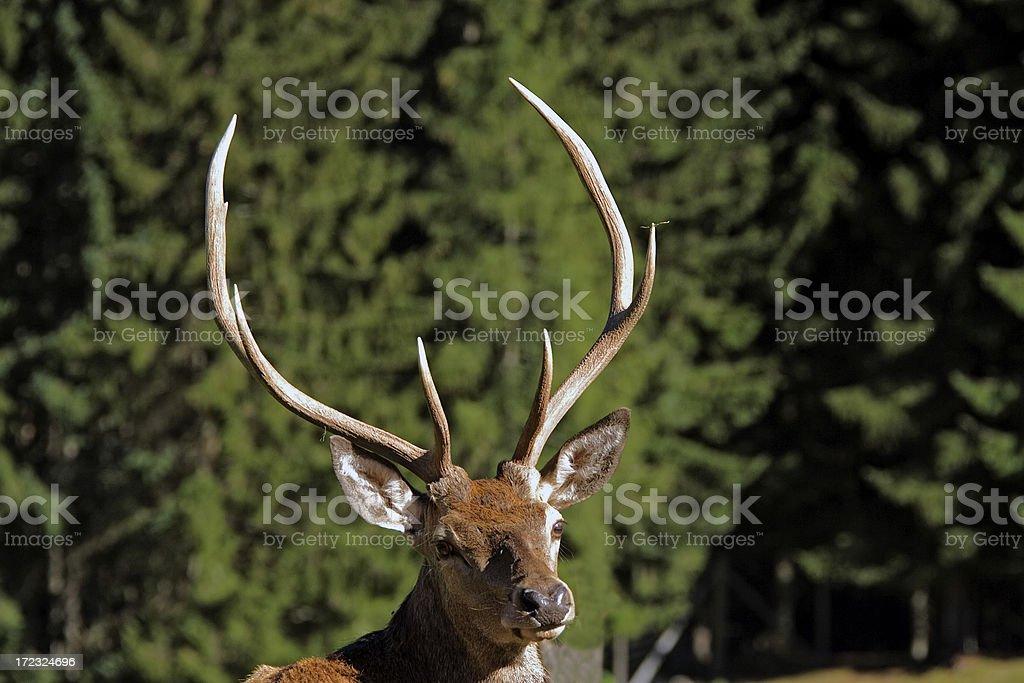 royal deer stock photo