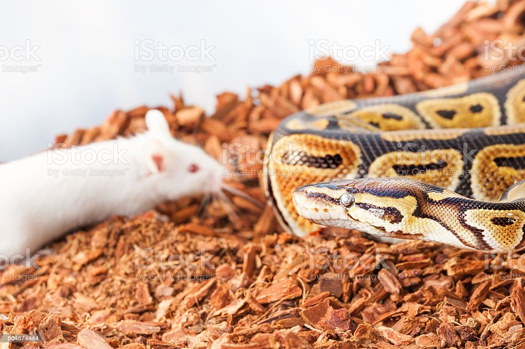 Royal or Ball python hunting for a white mouse stock photo