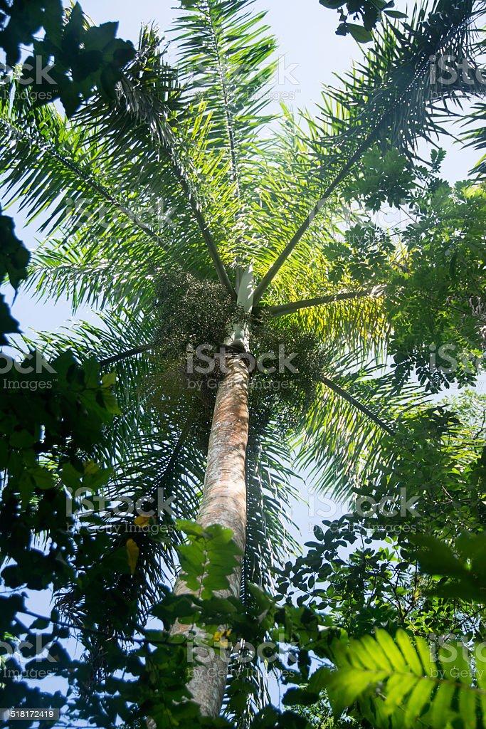 Royal Palm Tree, Cuban National Tree stock photo