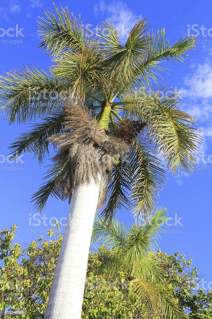 Royal palm tree in Hawaii stock photo
