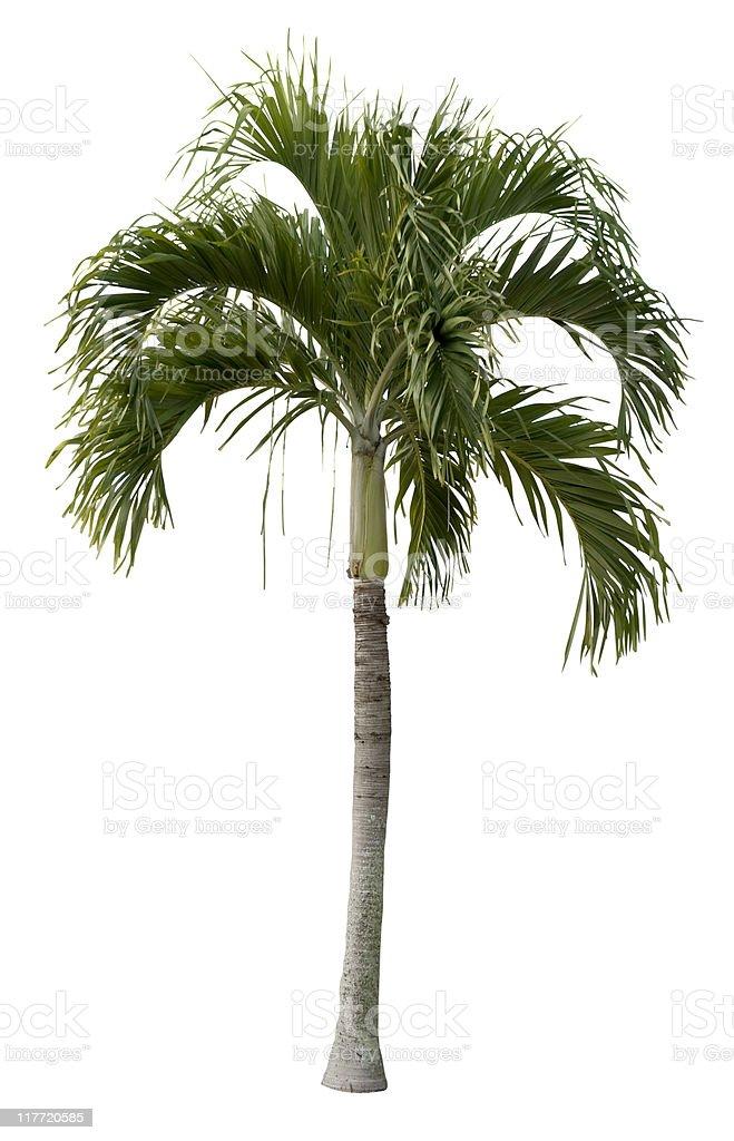 Royal Palm Tree royalty-free stock photo