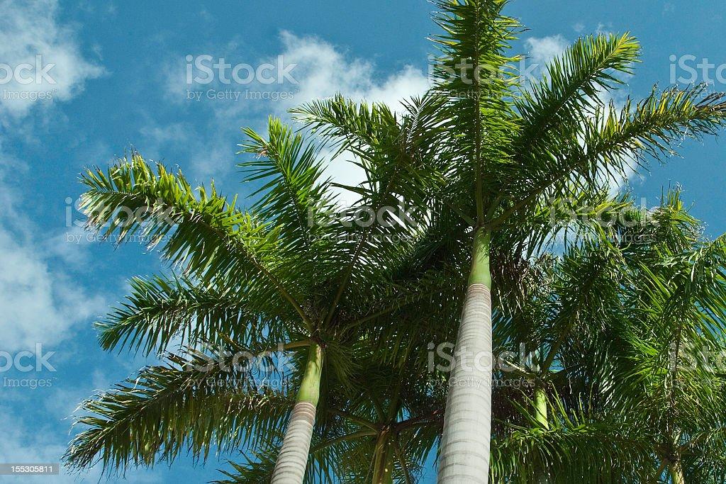 Royal palm trees stock photo