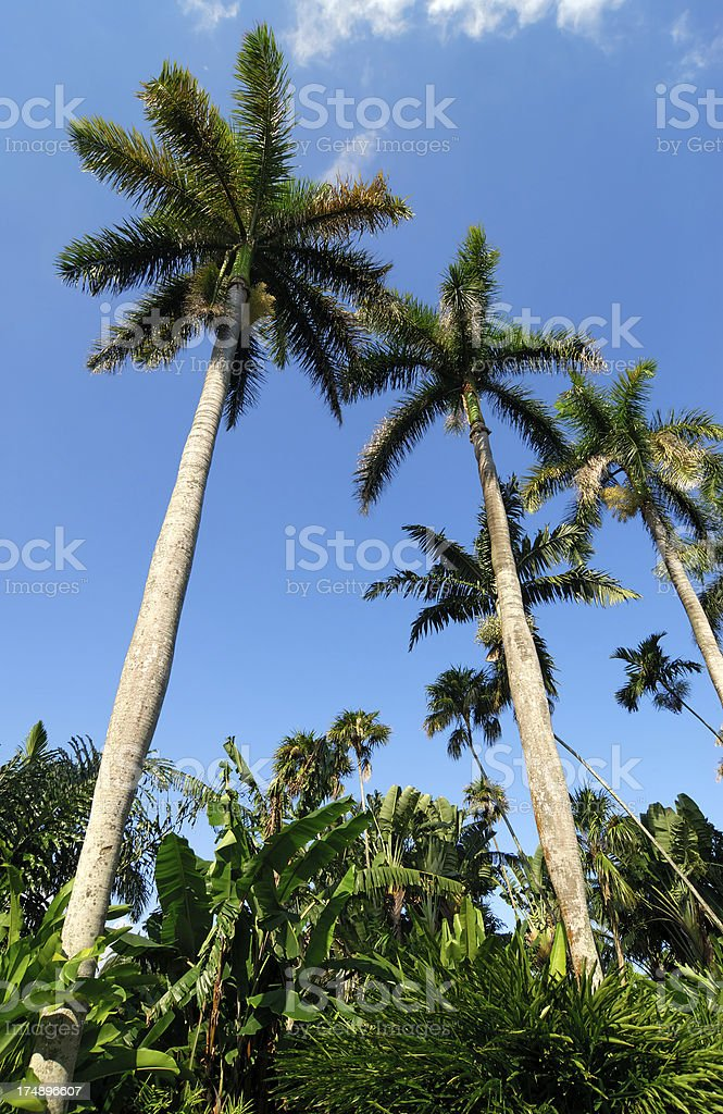 royal palms and more stock photo