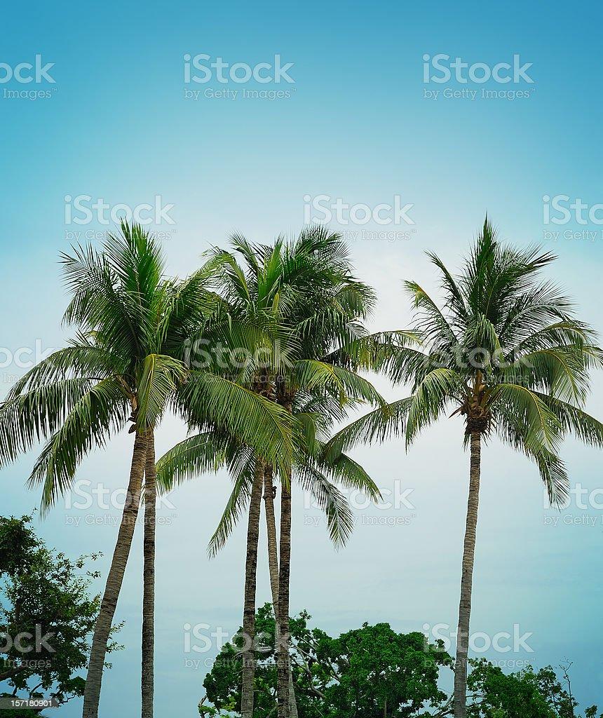 royal palms royalty-free stock photo