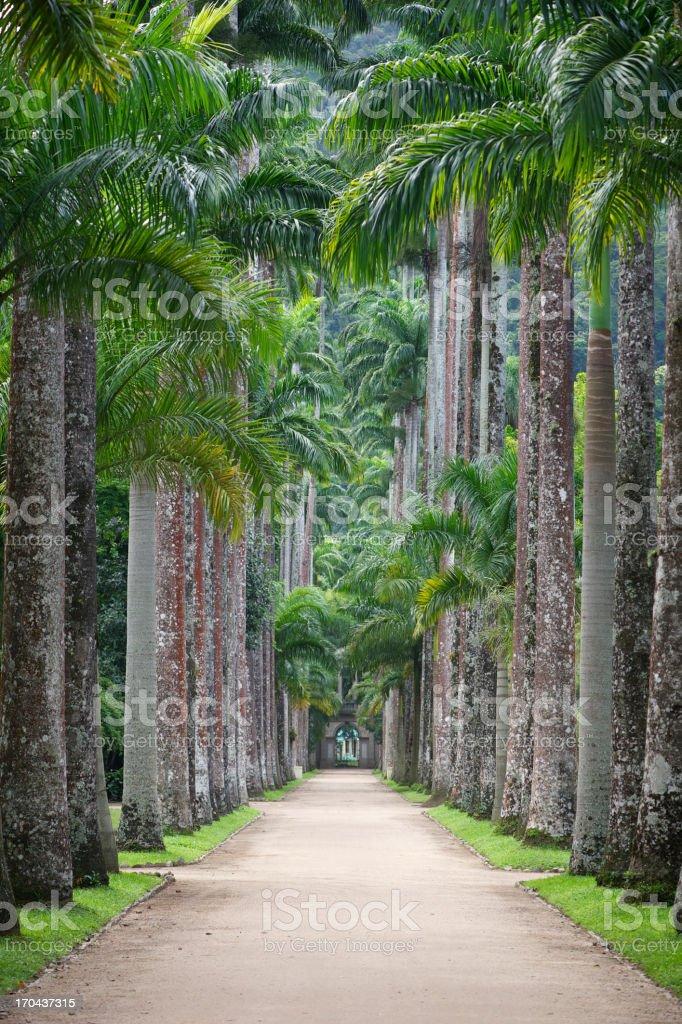 Royal Palms Soar Above Jardim Botanico Rio de Janeiro stock photo
