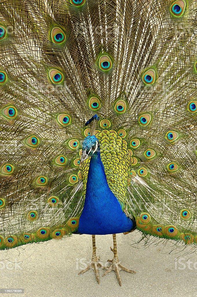 Royal Peacock stock photo