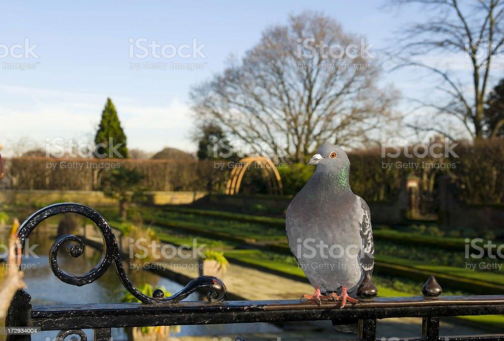 Royal pigeon stock photo