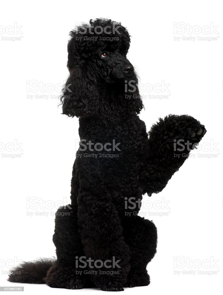 Royal Poodle, 18 months old, standing on hind legs stock photo