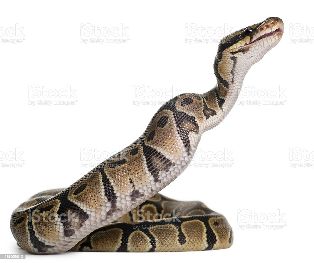 Royal python eating a mouse stock photo