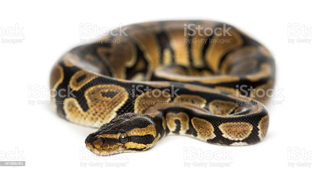 Royal python, isolated stock photo