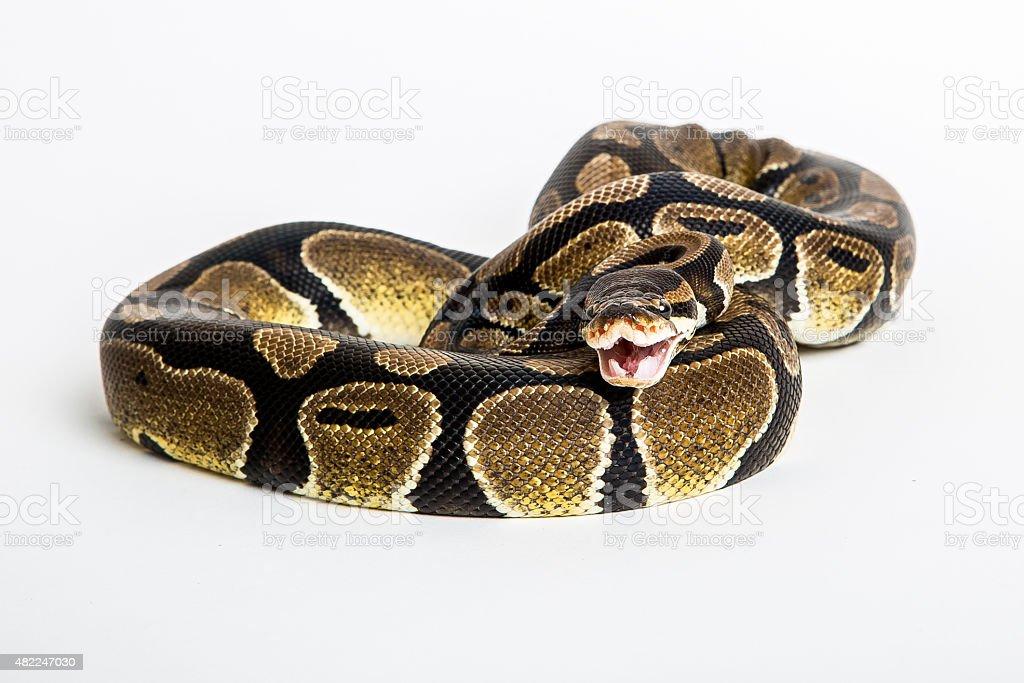 Royal Python isolated stock photo