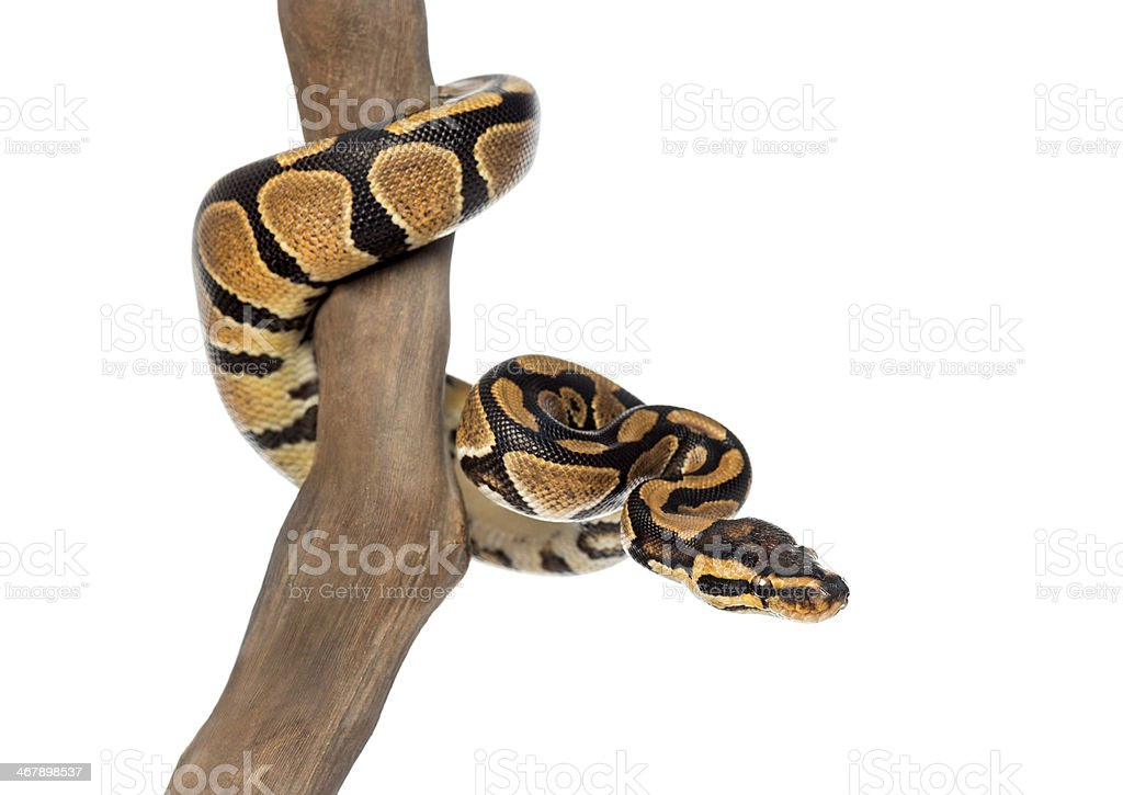 Royal python on a branch, isolated stock photo