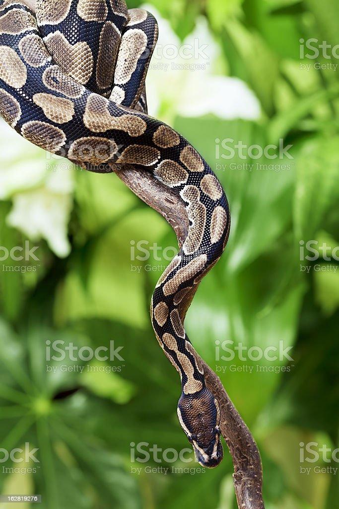 Royal Python on a branch royalty-free stock photo