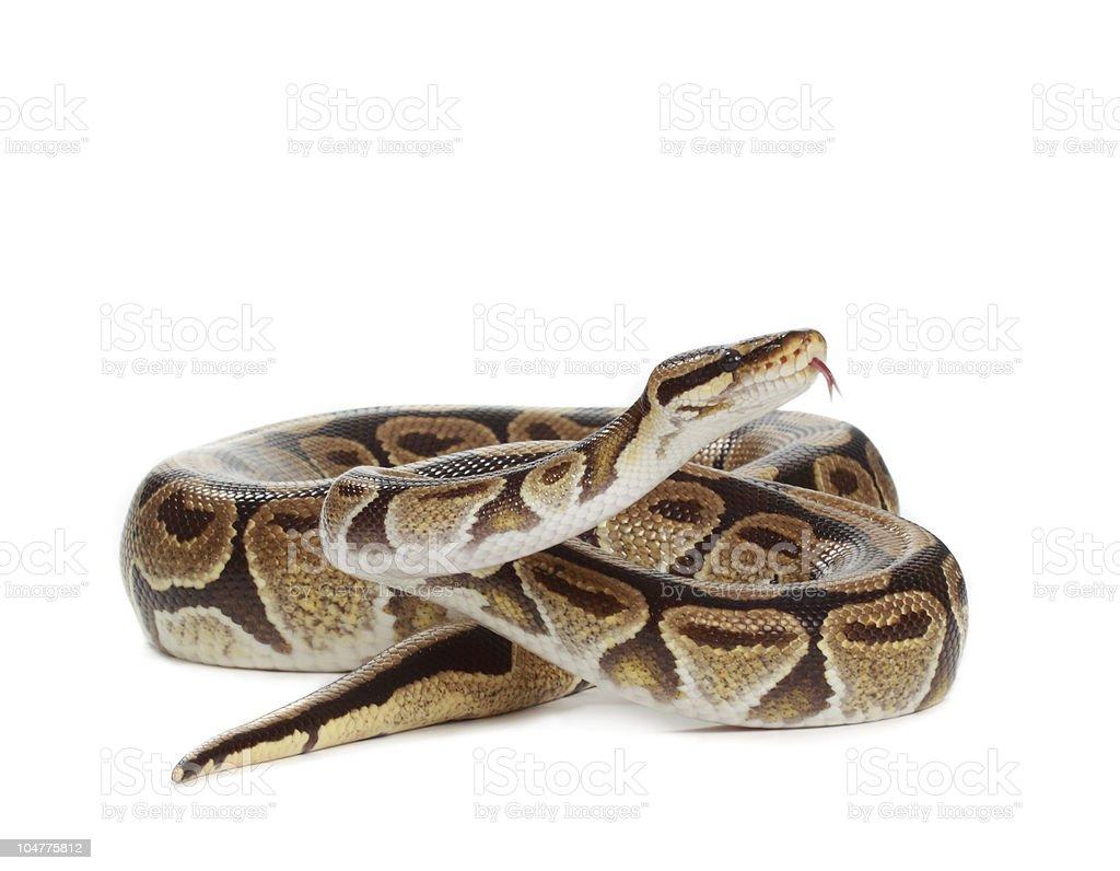 royal python stock photo