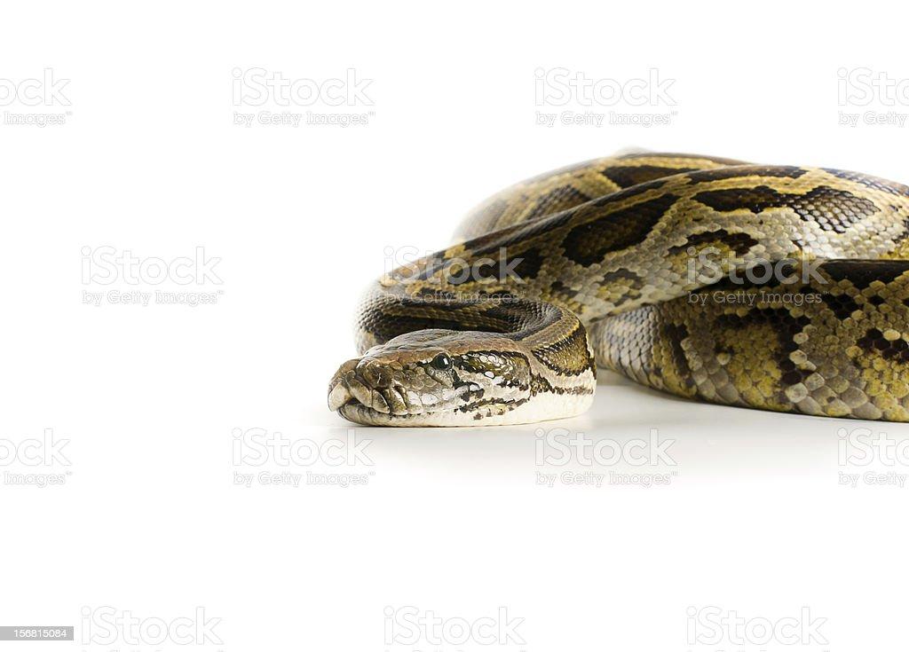 Royal python royalty-free stock photo