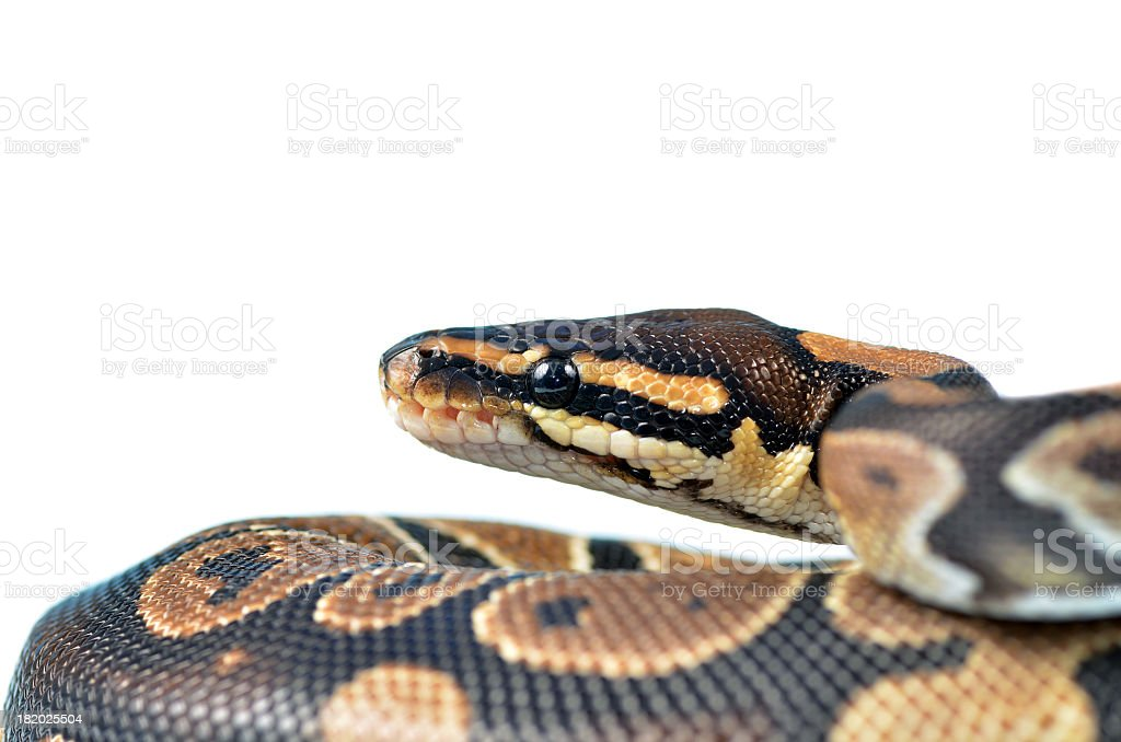 Royal Python stock photo