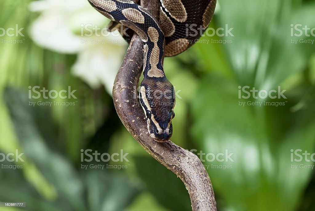 Royal Python rested on branch royalty-free stock photo