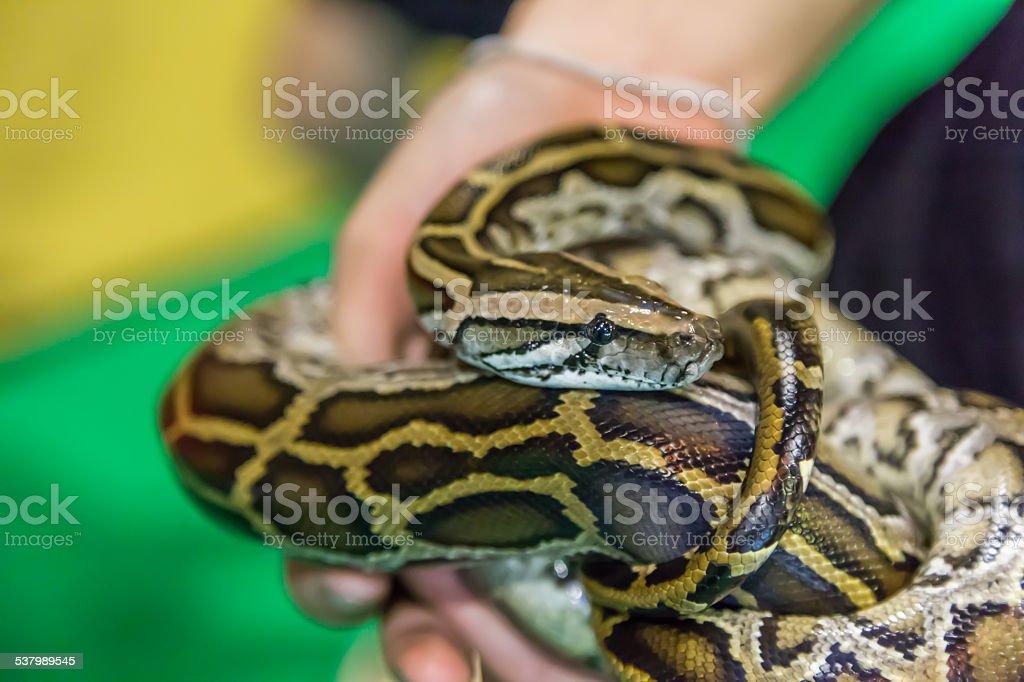 Royal Python snake creeping stock photo