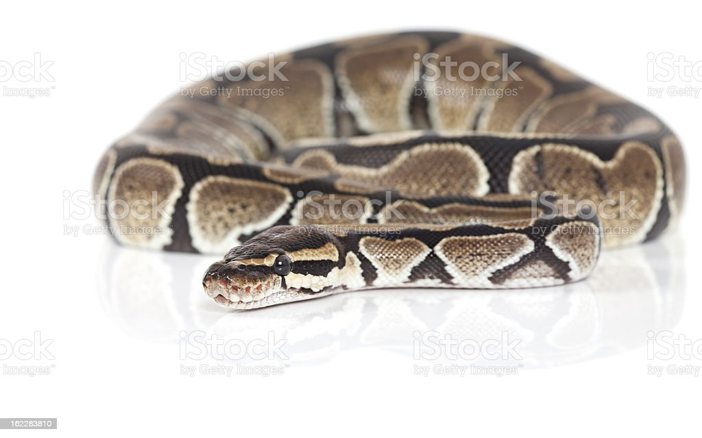 Royal Python snake in studio royalty-free stock photo