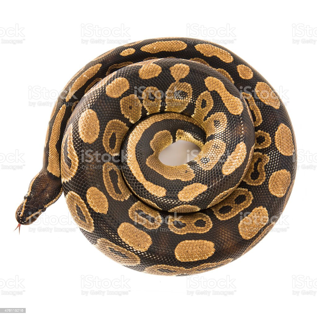 Royal python snake isolated on white from above stock photo