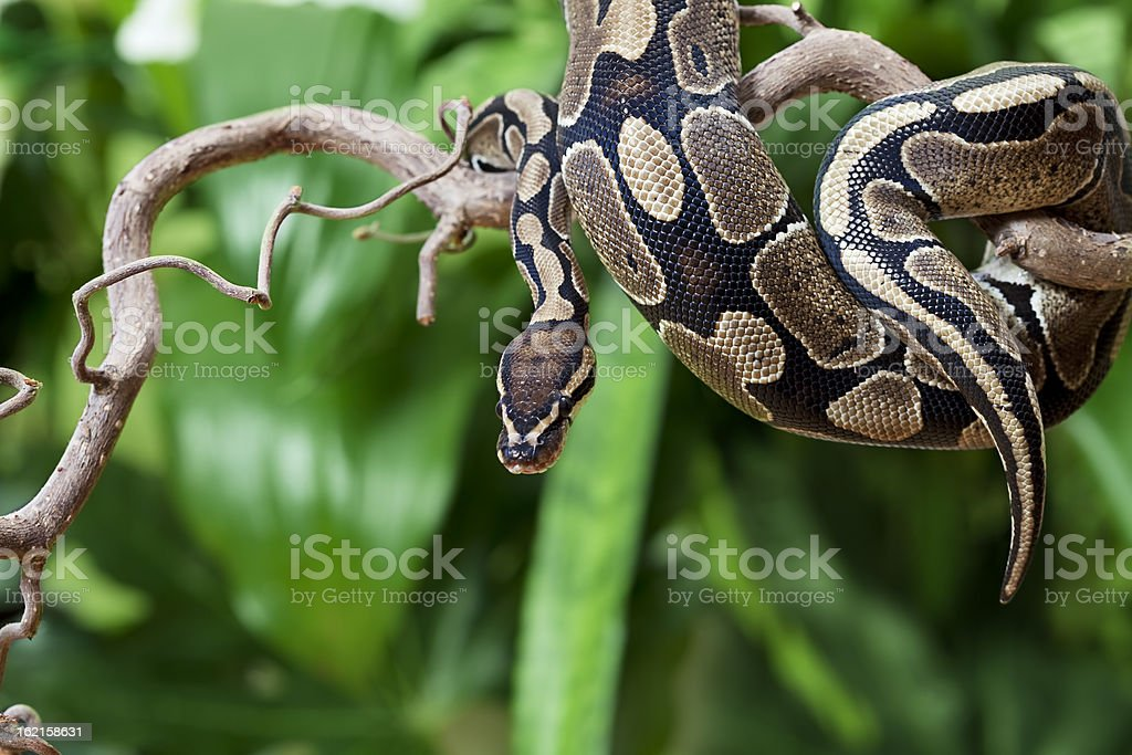 Royal Python snake on a wooden branch royalty-free stock photo