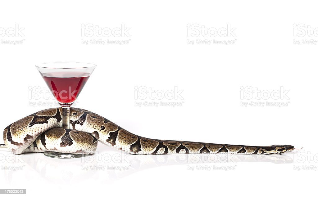 Royal Python with glass of red wine stock photo