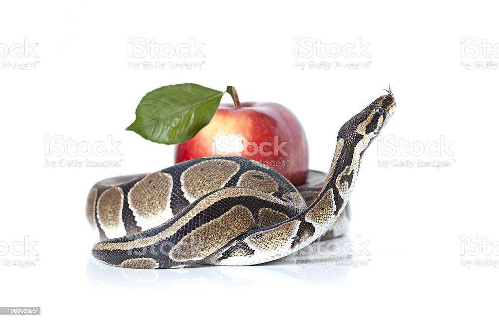 Royal Python with red apple stock photo