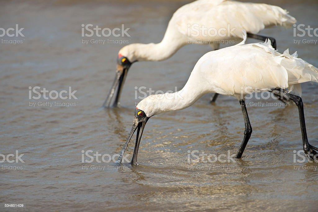 Royal Spoonbills - Australia stock photo