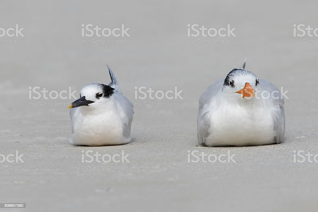 Royal Tern and Sandwich Tern resting on a Florida beach stock photo