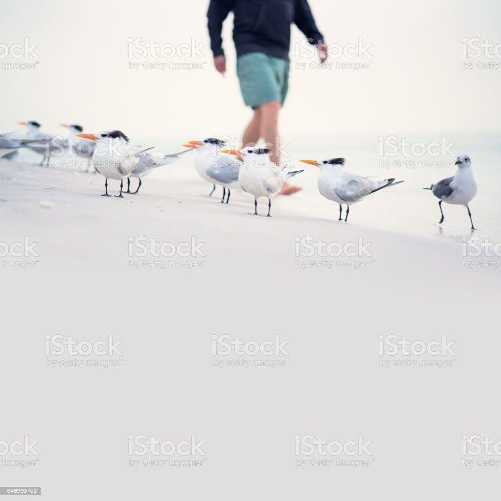 Royal tern and seagulls stock photo