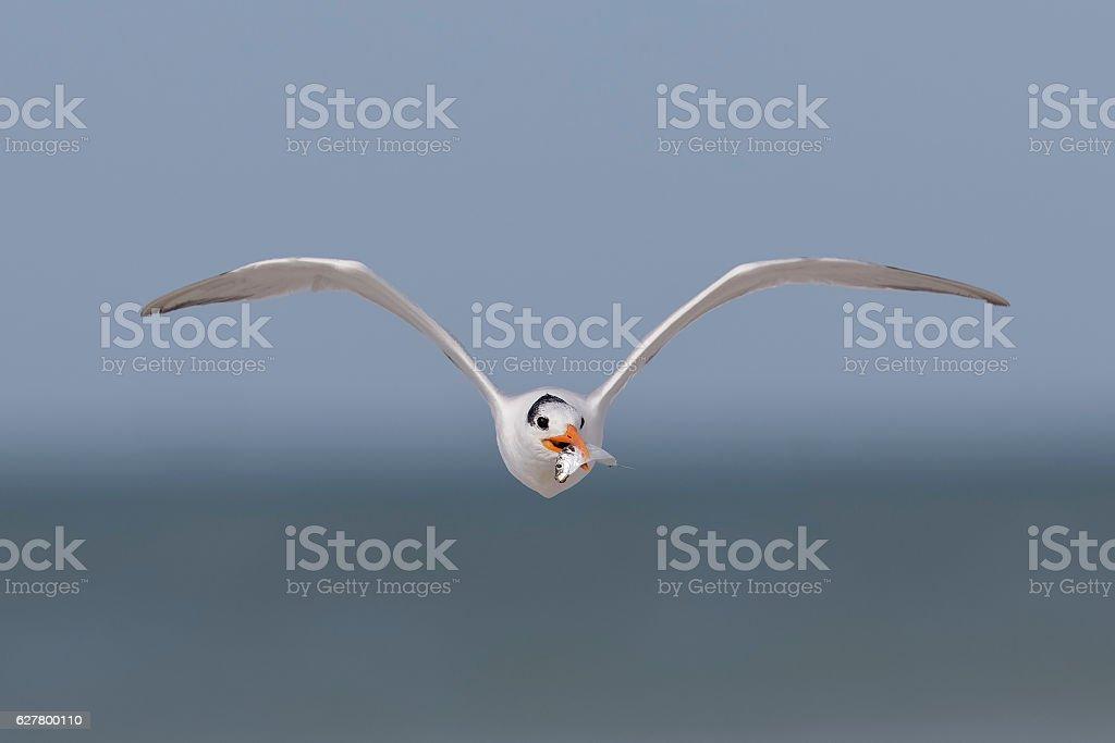 Royal Tern carrying a fish in flight - Florida stock photo