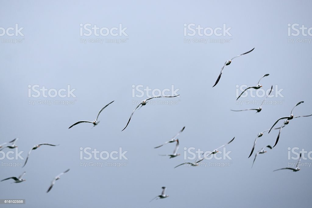 Royal Tern Flock Turning stock photo
