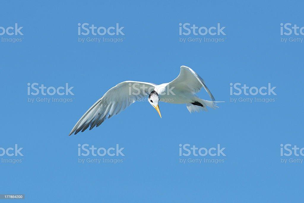 Royal Tern, Florida royalty-free stock photo