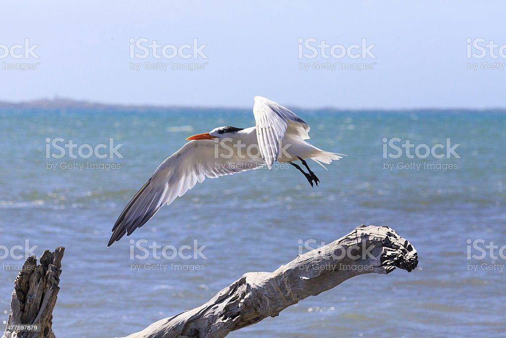 royal tern flying royalty-free stock photo