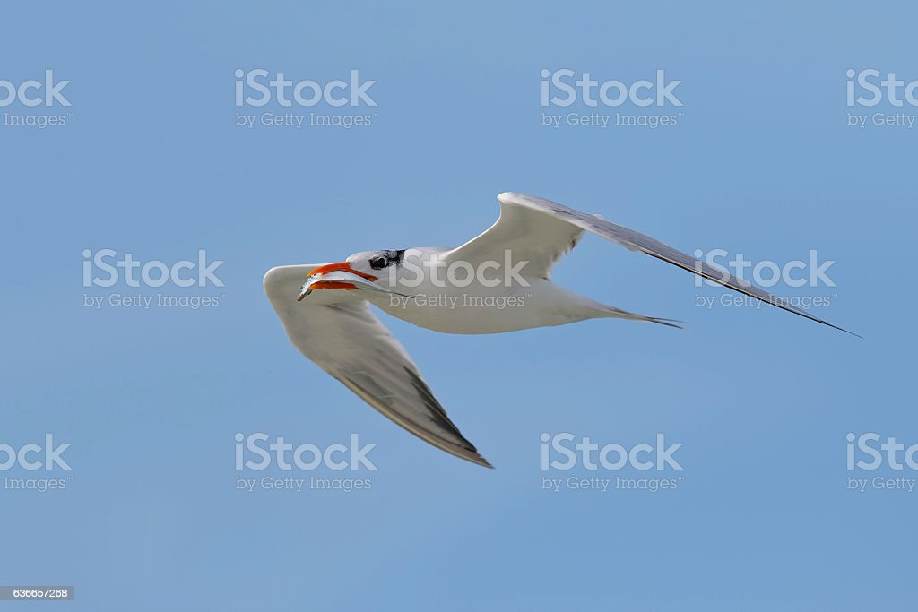 Royal Tern flying with a fish in its beak stock photo