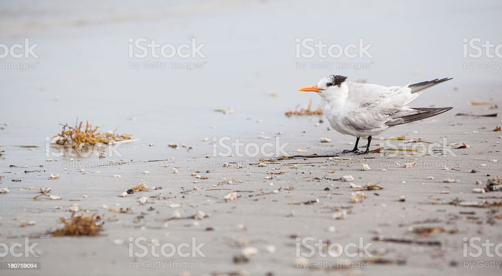 Royal Tern on the beach in Fort Lauderdale, Miami, Florida royalty-free stock photo