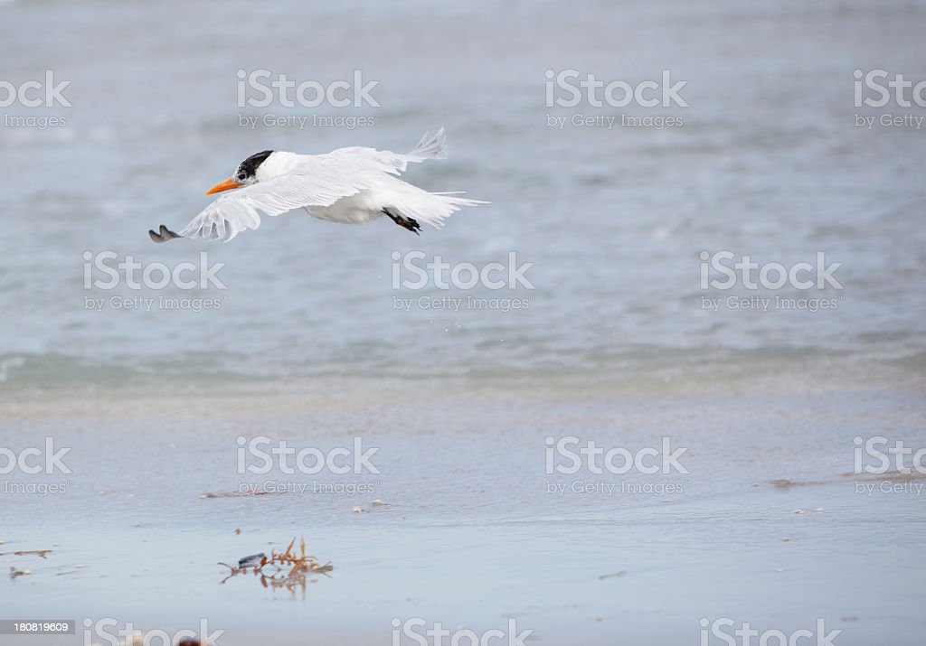 Royal Tern on the beach in Fort Lauderdale, Miami, Florida stock photo