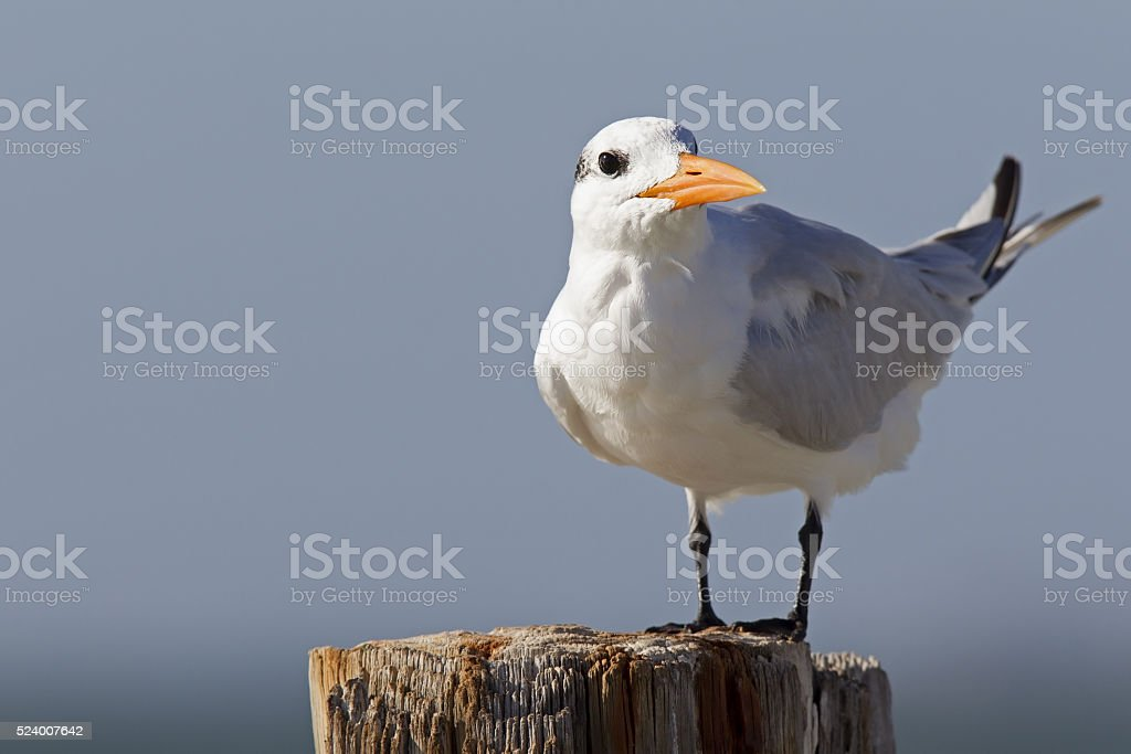 Royal tern perched in the Florida sun stock photo