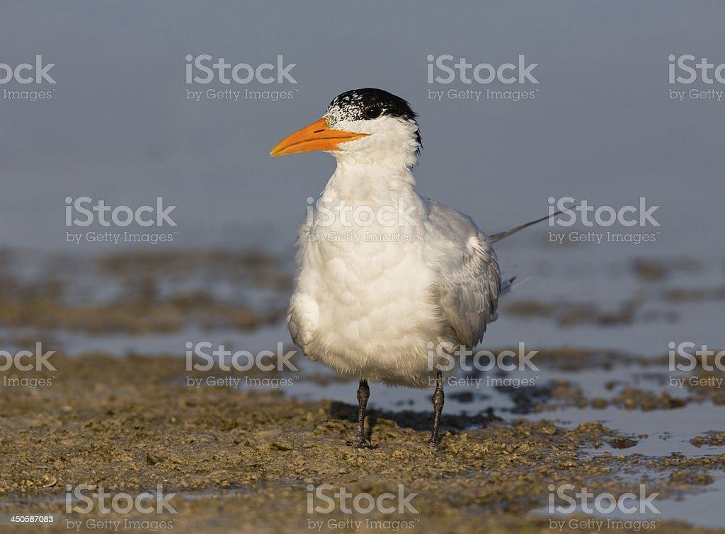 Royal Tern stock photo