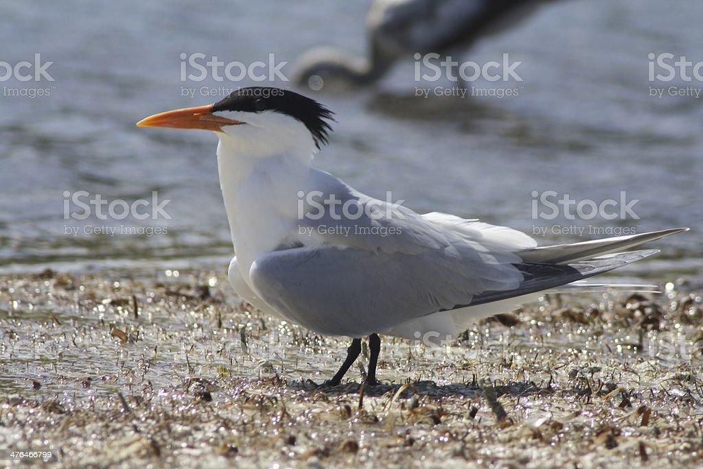 Royal Tern royalty-free stock photo