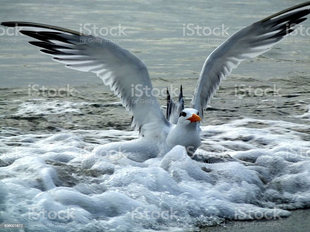 Royal Tern (Thalasseus maximus) stock photo