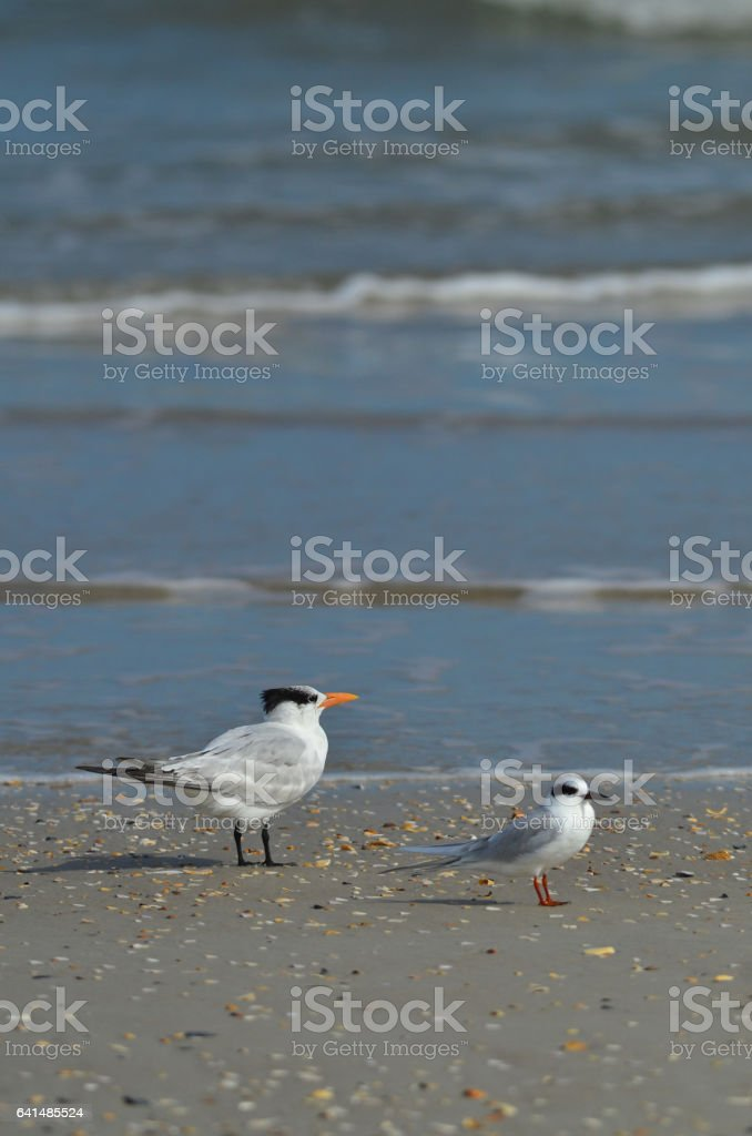 A Royal Tern stands on beach next to Forster's Tern stock photo