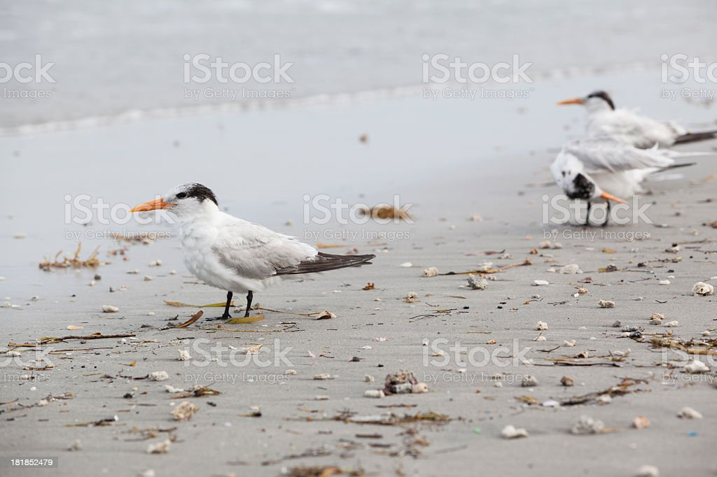 Royal Tern white seagull on the beach in Fort Lauderdale, Miami, Florida royalty-free stock photo