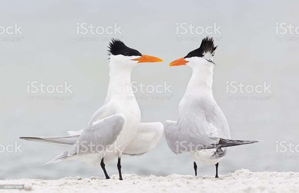 Royal Terns Courtship stock photo