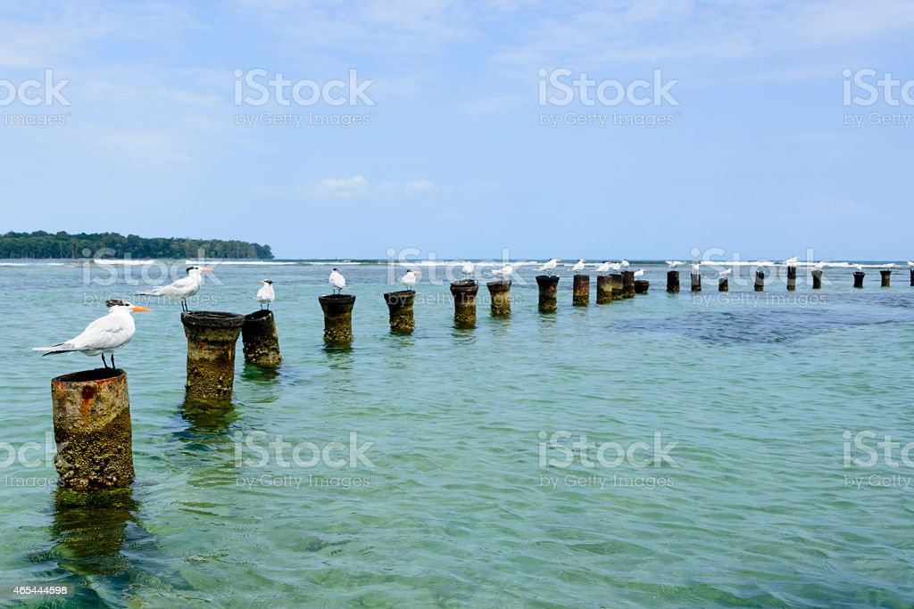Royal terns each standing on its own post stock photo