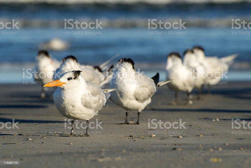 Royal terns on beach stock photo