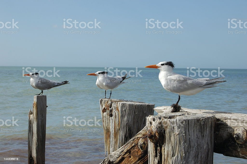 Royal Terns on Pilings by Beach stock photo