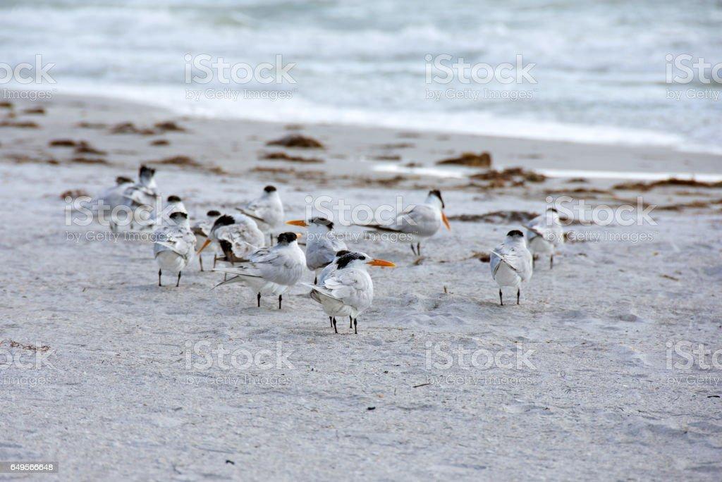 royal terns on seashore stock photo