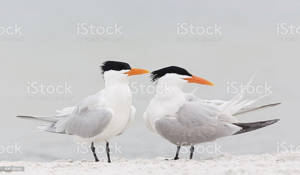 Royal Terns stock photo