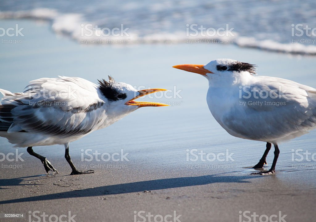 Royal terns stock photo